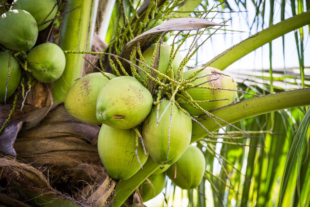 食用から化粧品まで大活躍のココナッツ