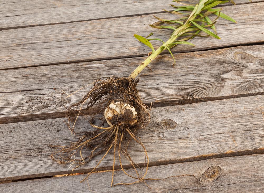 食物繊維たっぷり! 今が旬のゆり根を食べよう